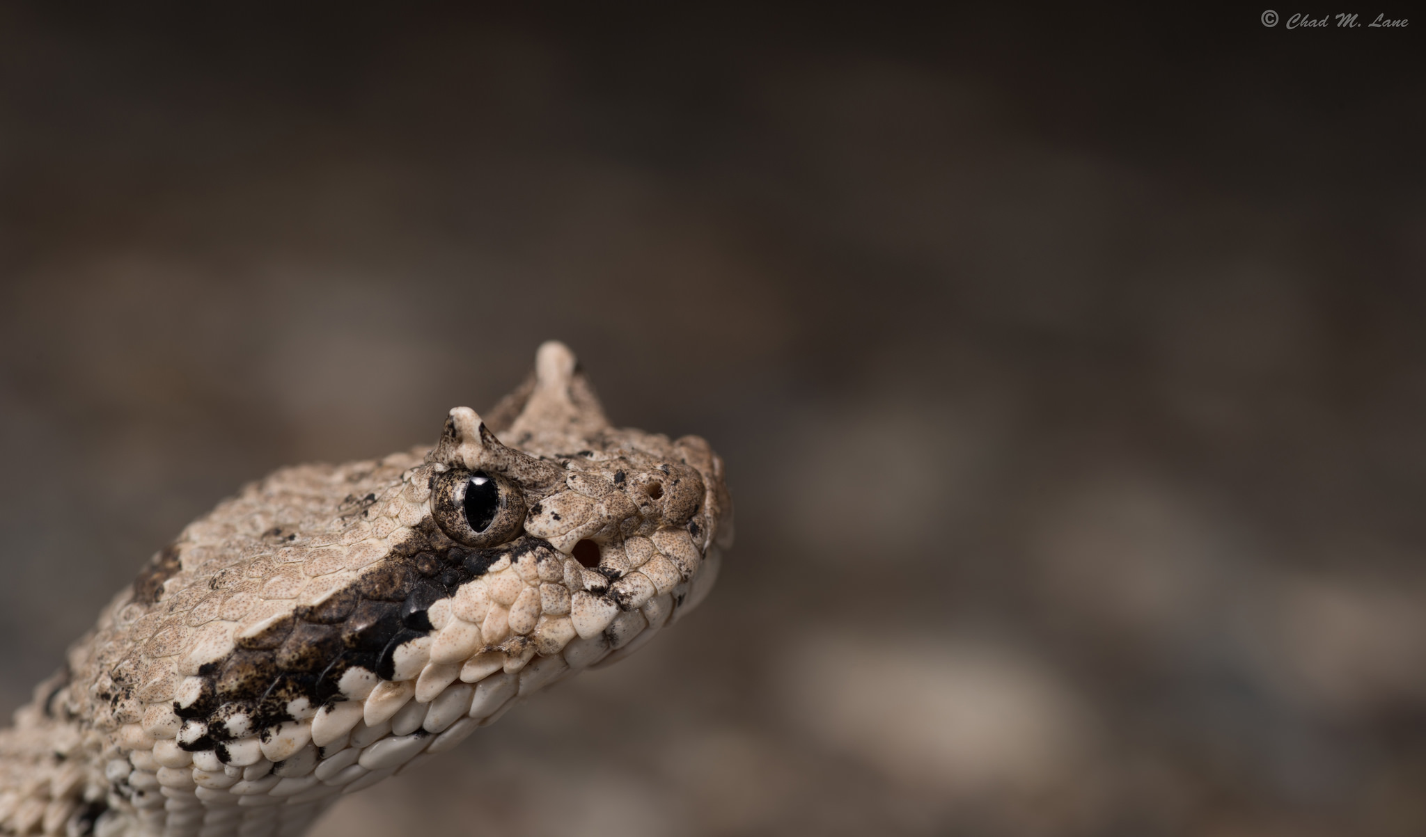 Mojave Desert Sidewinder photo by Chad M. Lane