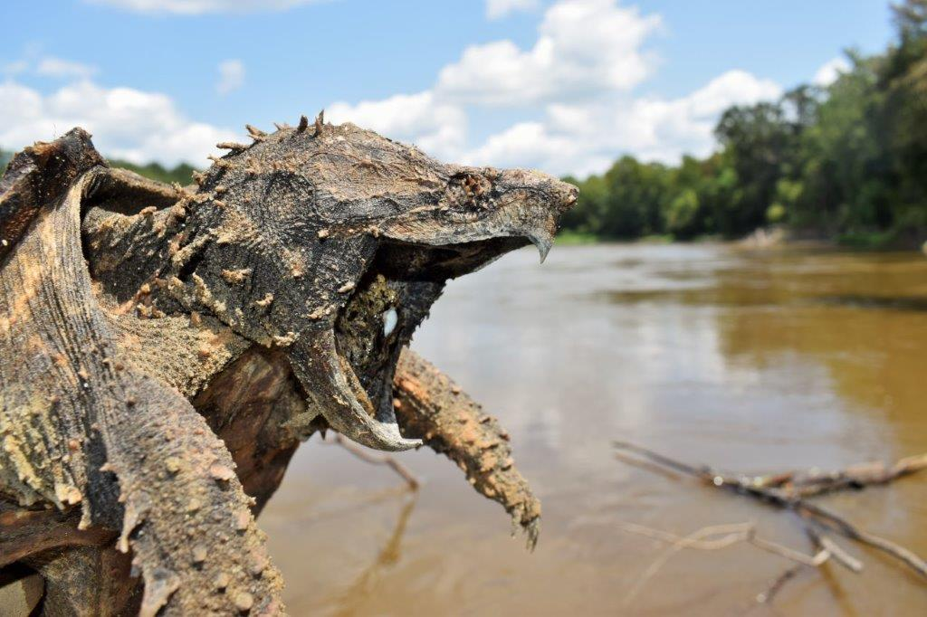 Alligator Snapping Turtle photo by Luke Pearson