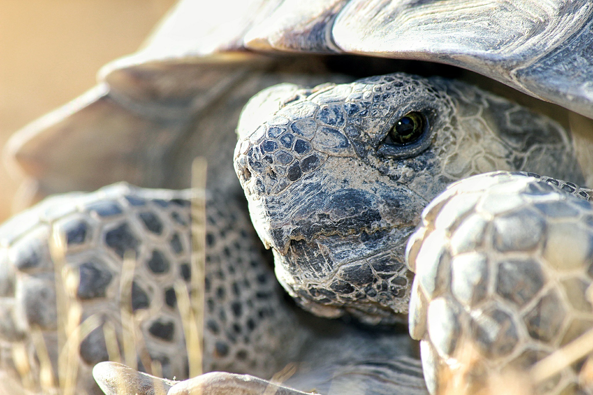 Desert Tortoise photo by Kameron Orr