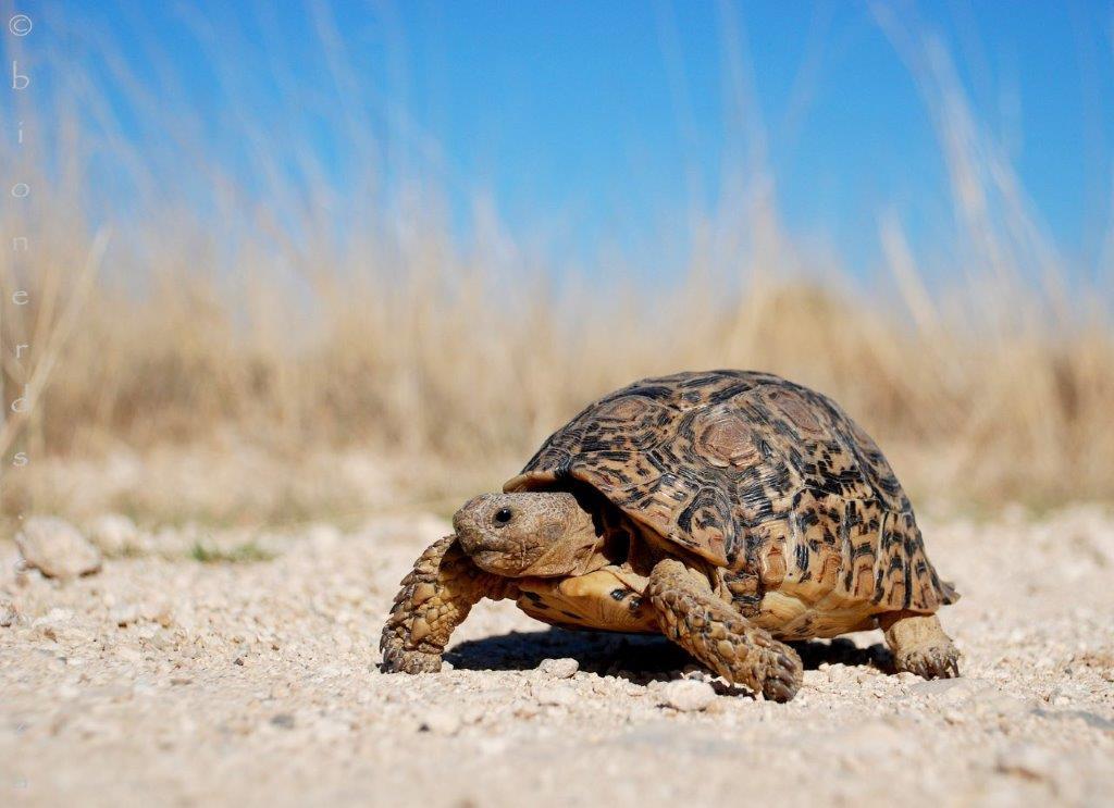 Leopard Tortoise photo by Bionerds