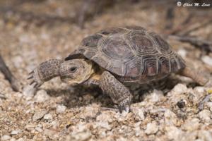 Sonoran Desert Tortoise photo by Chad M. Lane