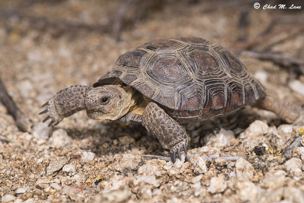 Sonoran Desert Tortoise photo by Chad M. Lane