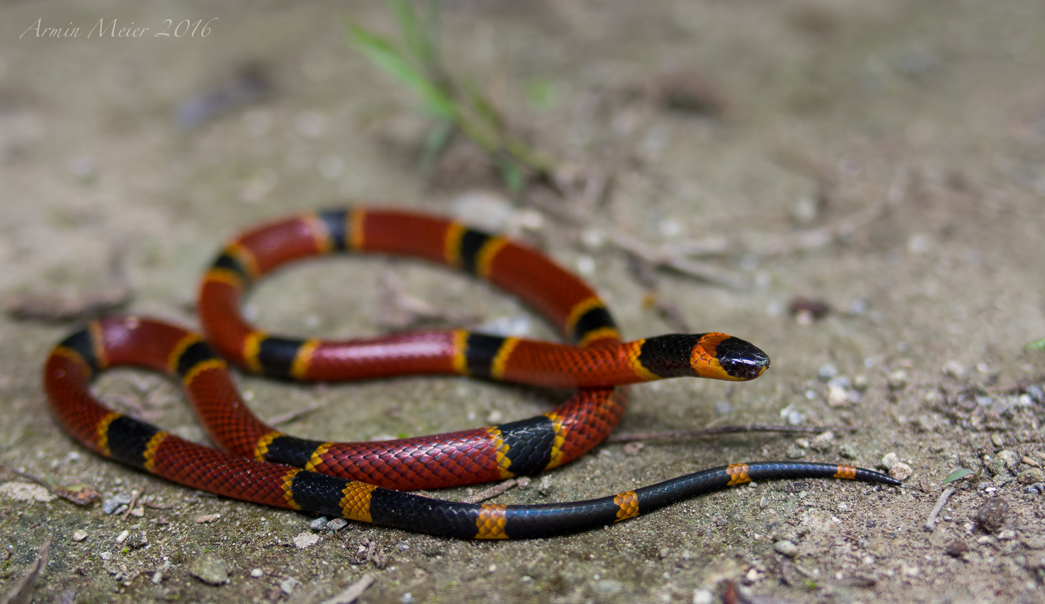 Variable Coralsnake photo by Armin Meier