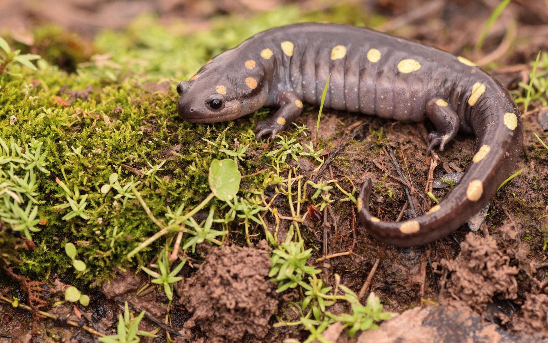 Spotted Salamander photo by Justin Sokol