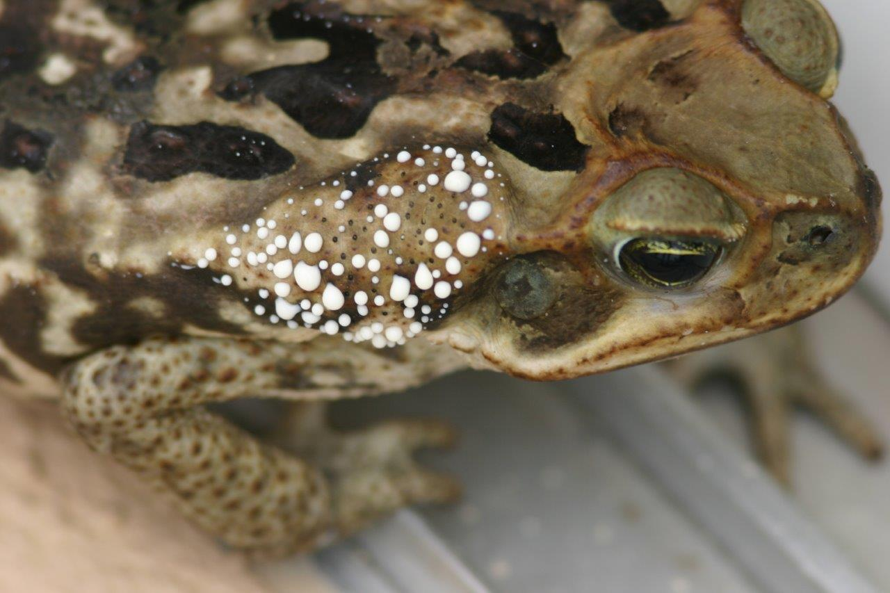 Cane Toad exuding bufotoxin photo by Kenneth Cole Schneider
