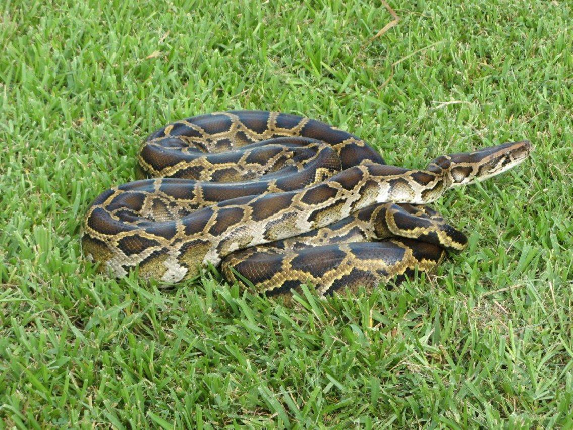 Burmese Python photo by Susan Jewell, USFWS CC0