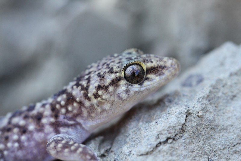 Mediterranean Gecko CC0