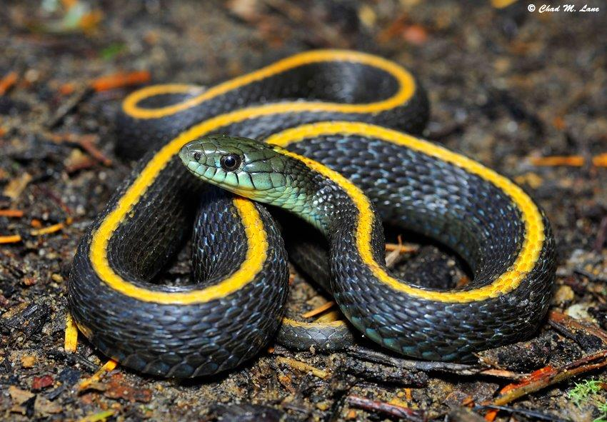 Santa Cruz Gartersnake Photo by Chad M. Lane