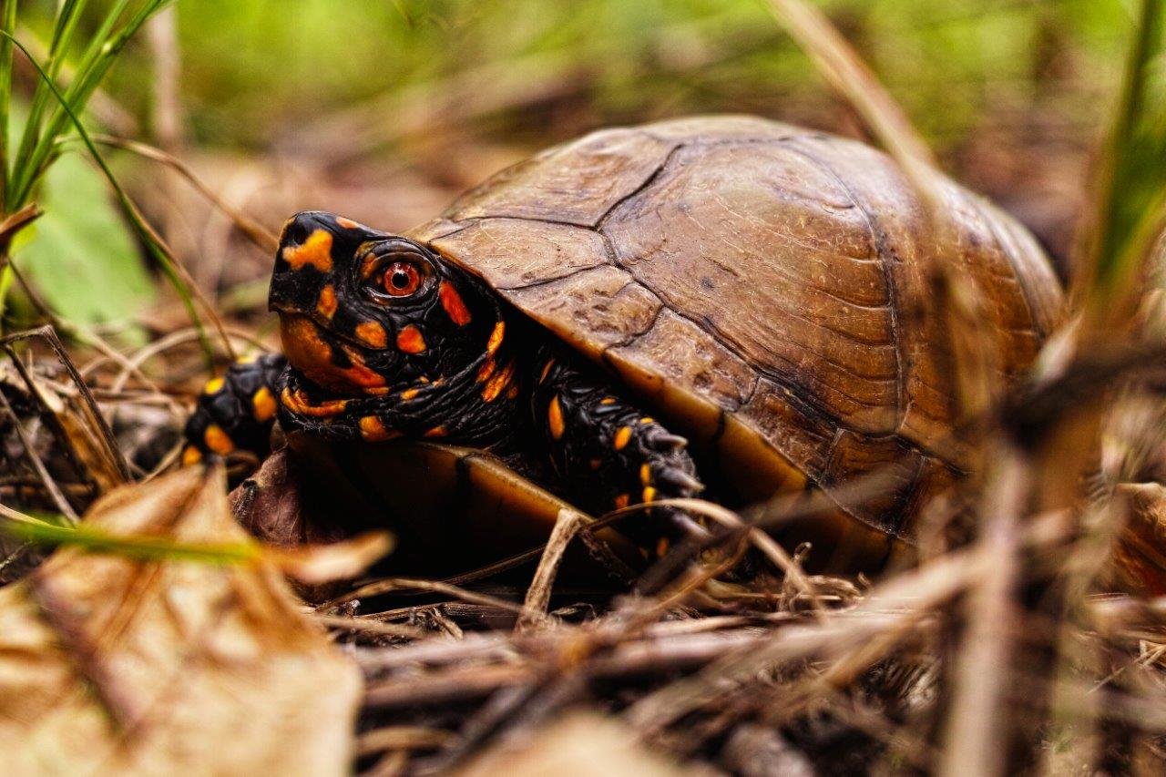 Three-toed Box Turtle photo by Charles Paxton